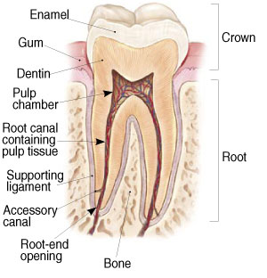 Labeled cross section of a tooth including: Enamel, Gum, Dentin, Pulp chamber, Root canal containing pulp tissue, Supporting ligament, Accessory cana, Root-end opening, Bone, Crown and Root